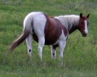 Major Bonanza/Old Man Paint Mare For Sale